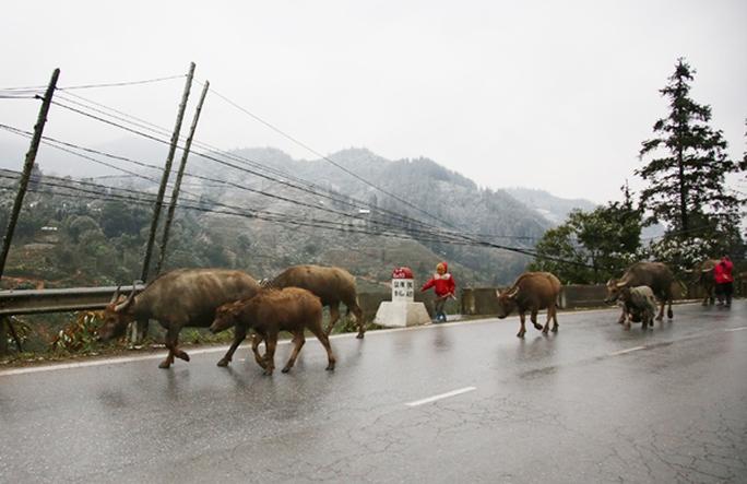 Nông dân Lào Cai khẩn trương di chuyển đàn gia súc tránh rét - Ảnh: Mạnh Dũng