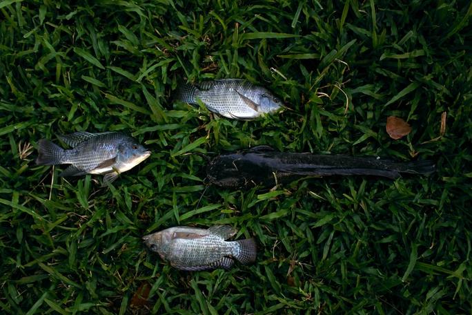Những người câu được ít cá không đủ bán, cũng không dám ăn nên vứt la liệt trên bãi cỏ. Dòng kênh Nhiêu Lộc - Thị Nghè chỉ mới được hồi sinh, nếu người dân cứ vô ý thức câu cá như vậy chẳng bao lâu nữa cá trong kênh cũng bị tận diệt.