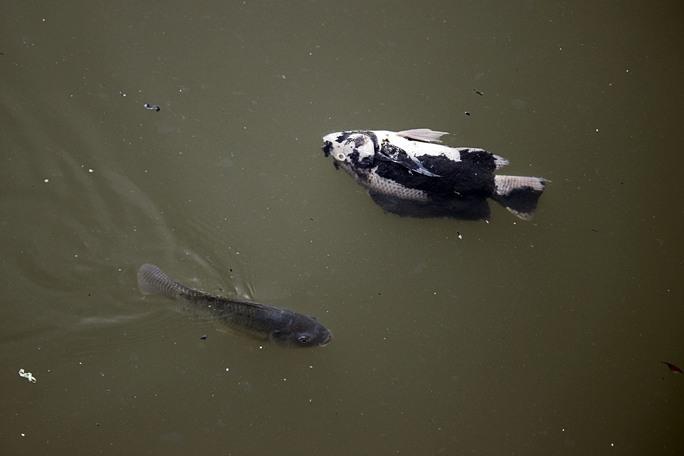 Hiện tượng cá nổi lên lờ đờ và chết trắng kênh Nhiêu Lộc - Thị Nghè bắt đầu xuất hiện sau trận mưa chiều 16-5 và kéo dài cho tới tận bây giờ.