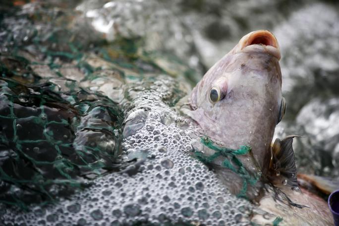 Nguyên nhân gây ra tình trạng cá chết hàng loạt được xác định là do ô nhiễm môi trường nước cục bộ