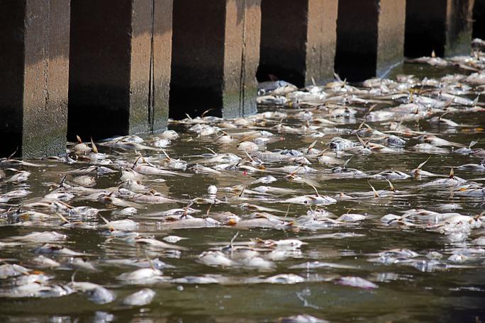 Các loại cá chết nhiều như cá rô, cá mè, cá chép do sức đề kháng yếu. Sau khi chết xác cá chìm xuống mặt bùn rồi mới nổi lên mặt nước.