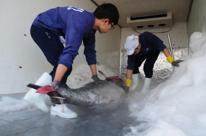 Nhân viên Bidifisco đưa cá ngừ lên xe để vận chuyển ra sân bay chờ chuyển sang Nhật Bản