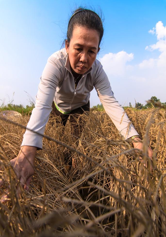 Bà Trần Thị Tiễn, ở xã Hưng Yên, cũng vừa chịu cảnh mất trắng 10 công lúa đông xuân do lúa chết khô trên đồng ruộng như thế này.