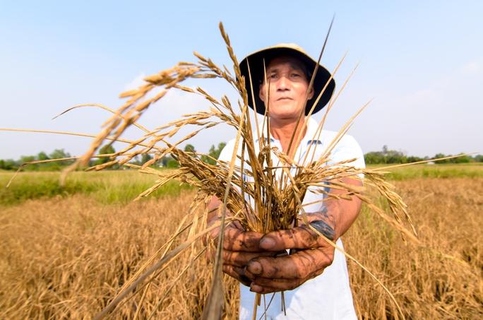 Ông Lê Hữu Tâm đang rầu rĩ vì toàn bộ 35 công lúa nhà ông đã không cho hạt hoặc bị chết khô