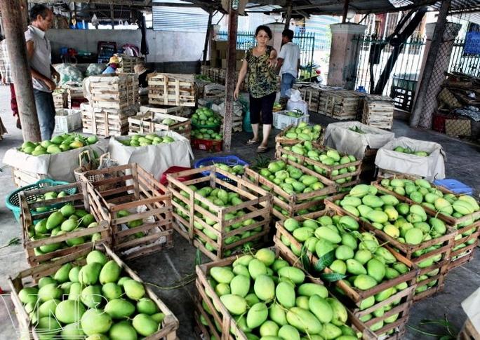 Xoài ở Cam Lâm được đưa đi nhiều tỉnh và xuất khẩu đi các nước trên thế giới