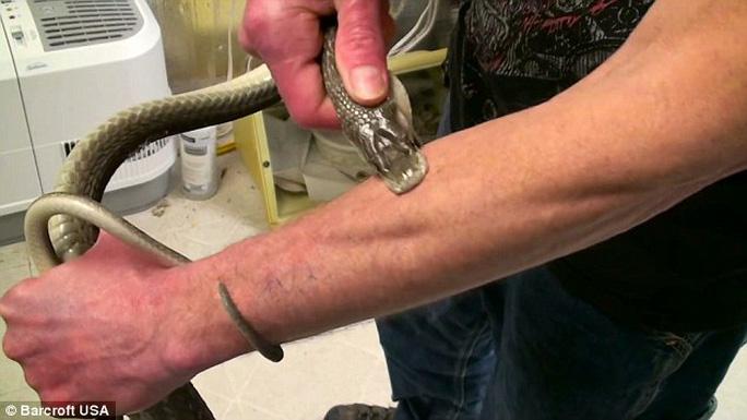 Nhà khoa học Tim Friede để rắn cắn ít nhất 160 lần. Ảnh: Barcroft