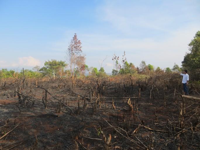 Rừng gỗ sao 10 năm tuổi đã bị đốn hạ