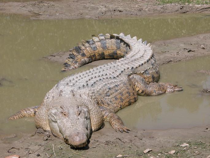 Loài cá sấu nước mặn Úc được cho là thủ phạm của vụ tấn công. Ảnh: Wikipedia