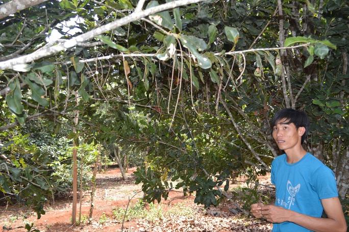 Nhiều vườn cây mắc ca ở huyện Krông Năng, tỉnh Đắk Lắk chỉ ra hoa mà không có trái Ảnh: CAO NGUYÊN