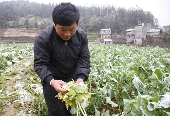 Trong khi du khách nô nức lên Sa Pa ngắm tuyết thì nông dân lại xót lòng khi hoa màu bị hỏng do mưa tuyết - Ảnh: Mạnh Dũng