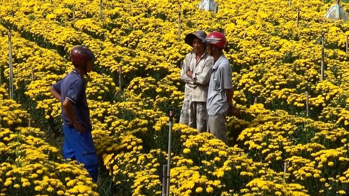 Thương lái đến thu mua hoa cúc trước dịp Tết Đoan Ngọ vài ngày