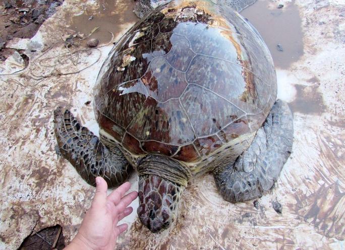 Giải cứu rùa biển quý hiếm suýt bị làm mồi nhậu