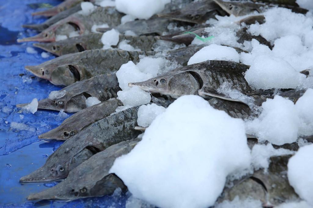 Người dân TP HCM chen nhau mua cá tầm bị ngộp nước - Ảnh 8.