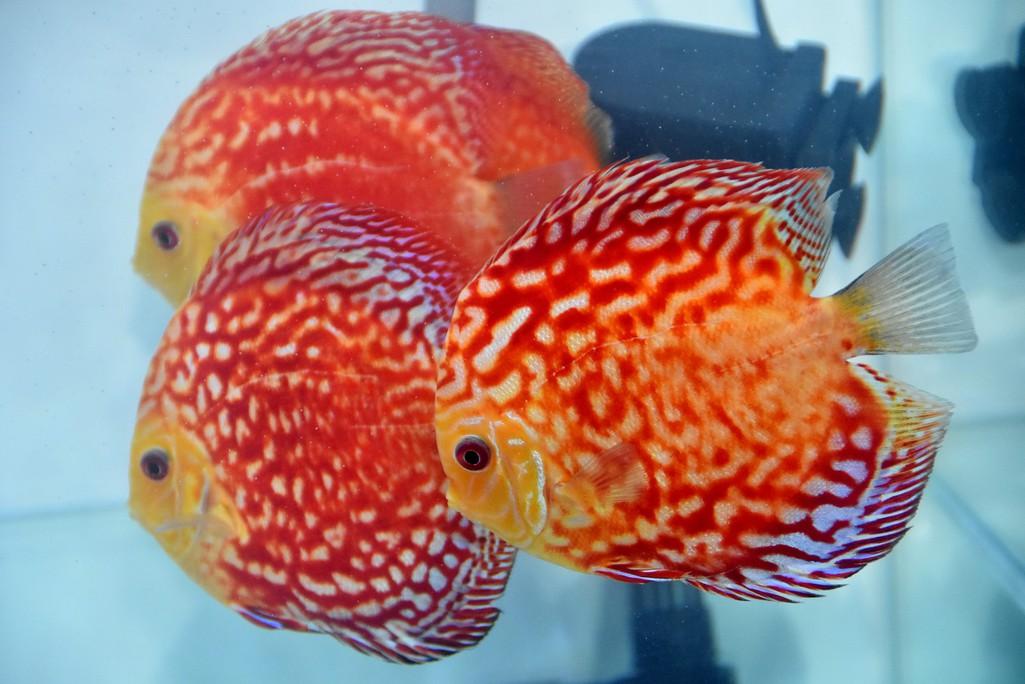 Cả trăm loài cá cảnh đủ sắc màu hút hồn dân chơi thủy sinh ở TP HCM - Ảnh 12.