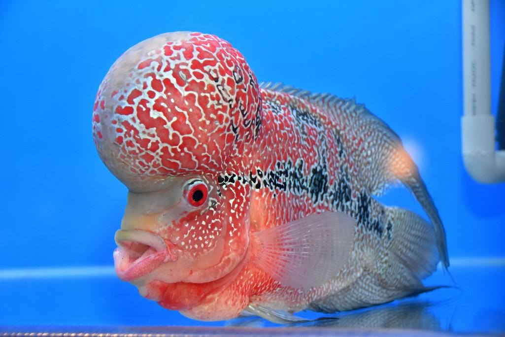 Cả trăm loài cá cảnh đủ sắc màu hút hồn dân chơi thủy sinh ở TP HCM - Ảnh 9.