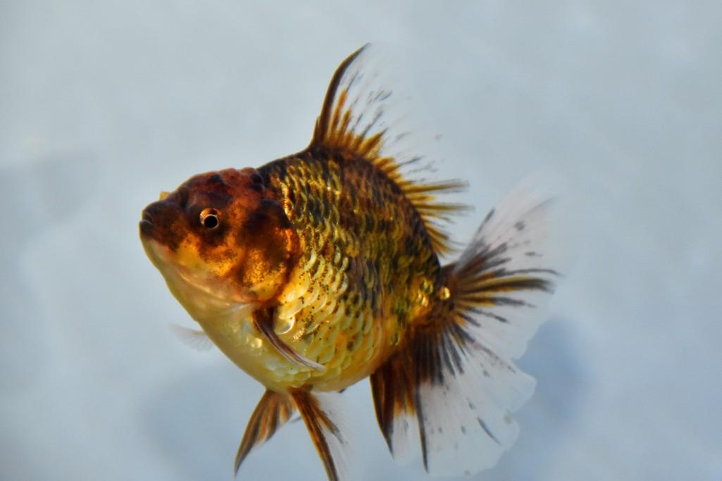 Cả trăm loài cá cảnh đủ sắc màu hút hồn dân chơi thủy sinh ở TP HCM - Ảnh 7.