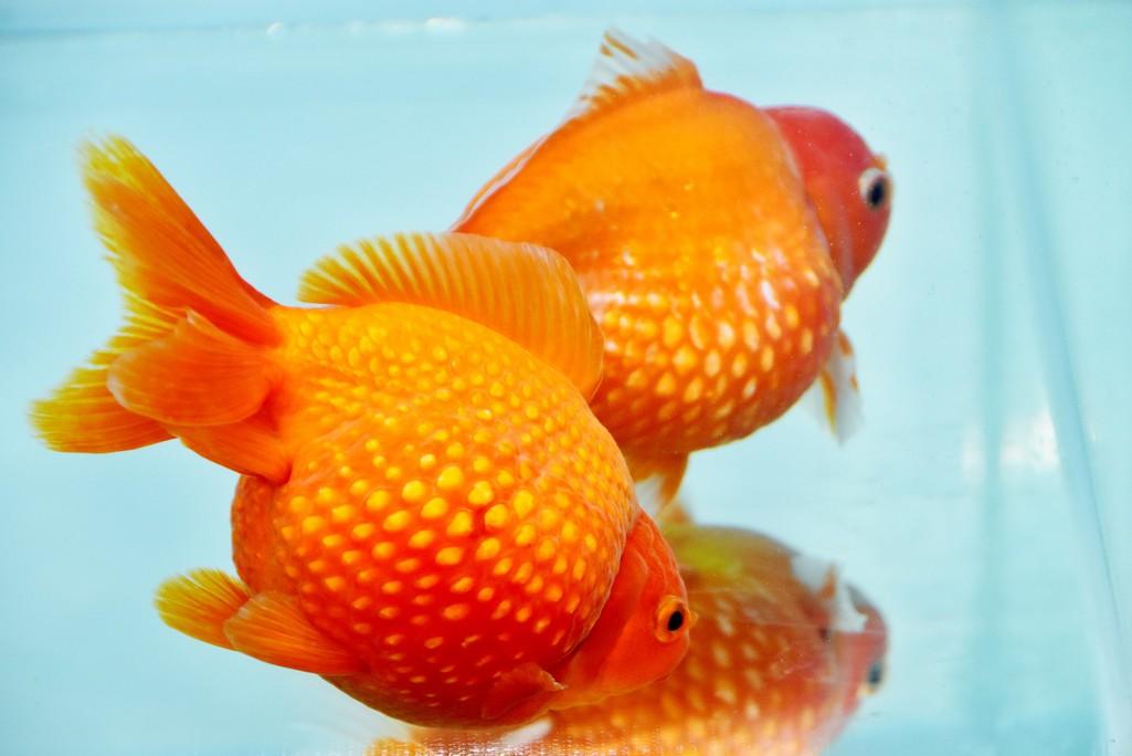 Cả trăm loài cá cảnh đủ sắc màu hút hồn dân chơi thủy sinh ở TP HCM - Ảnh 6.