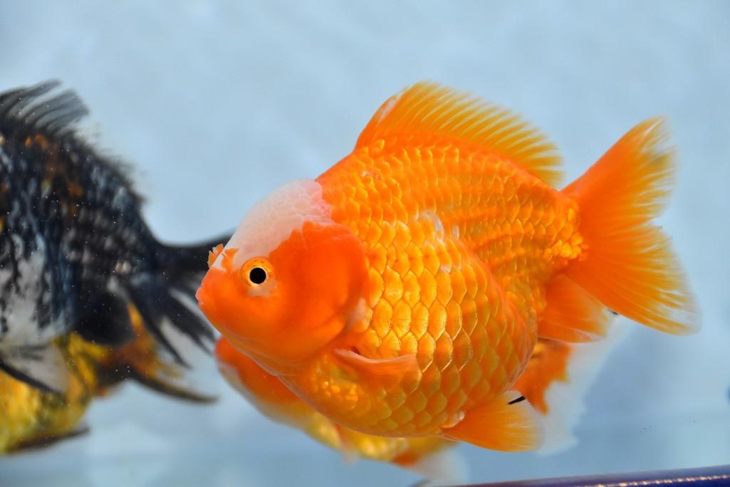Cả trăm loài cá cảnh đủ sắc màu hút hồn dân chơi thủy sinh ở TP HCM - Ảnh 4.