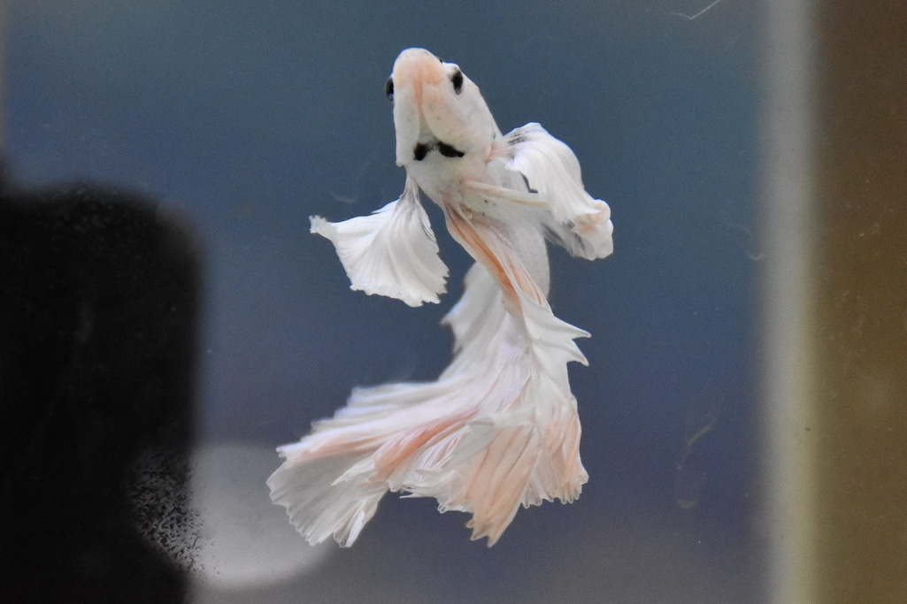 Cả trăm loài cá cảnh đủ sắc màu hút hồn dân chơi thủy sinh ở TP HCM - Ảnh 17.
