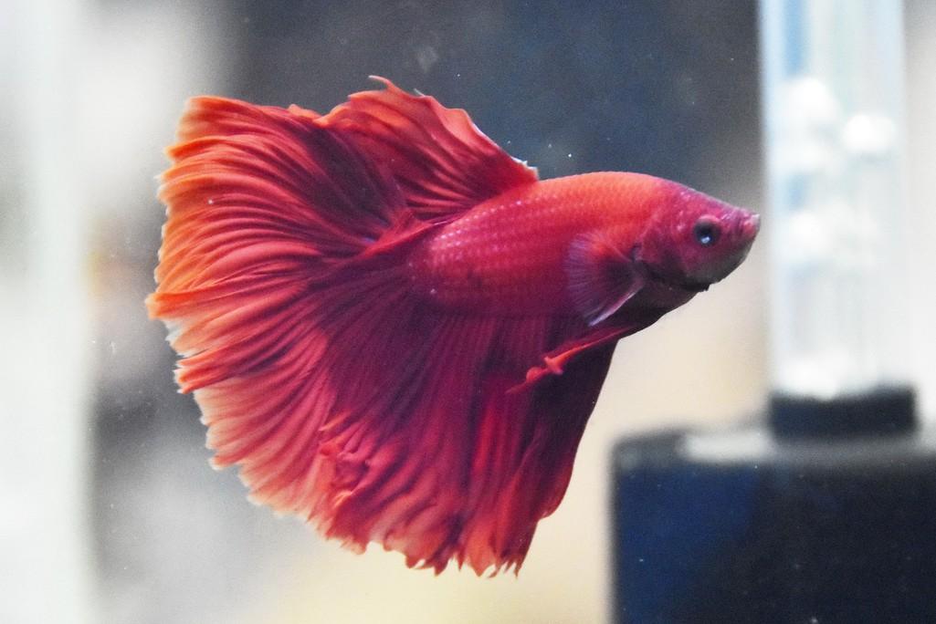 Cả trăm loài cá cảnh đủ sắc màu hút hồn dân chơi thủy sinh ở TP HCM - Ảnh 16.