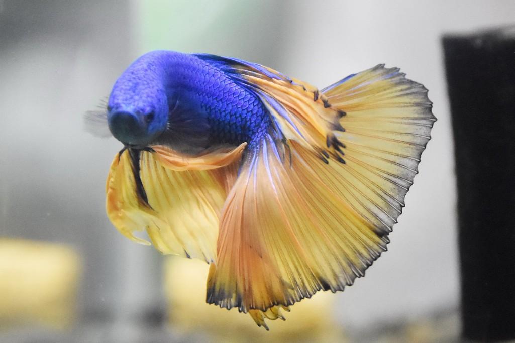 Cả trăm loài cá cảnh đủ sắc màu hút hồn dân chơi thủy sinh ở TP HCM - Ảnh 15.