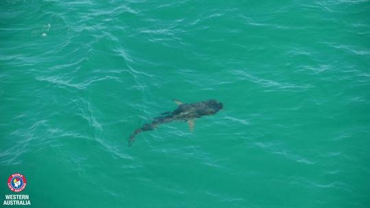 Một cá mập được gắn máy phát tín hiệu. Ảnh: SLSWA