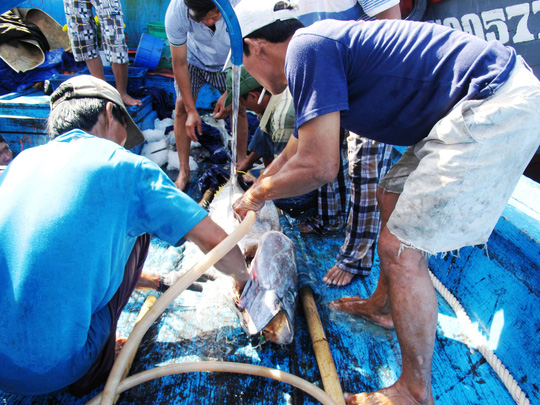 Tranh thủ rửa sạch cá để xuất bán