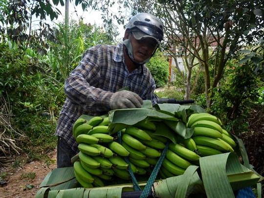 Anh Nguyễn Thanh Bình, một thương lái đang thu mua chuối tại vườn của người dân ở huyện Bình Minh, tỉnh Vĩnh Long.