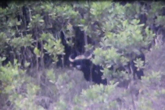 Nhiều khả năng con bò tót húc chết người sáng nay là con bò tót xuất hiện ở huyện Đông Giang trước đó