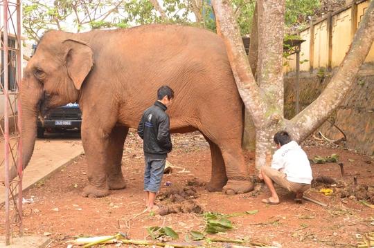 Xích chân voi vào gốc cây để tránh gây họa nữa