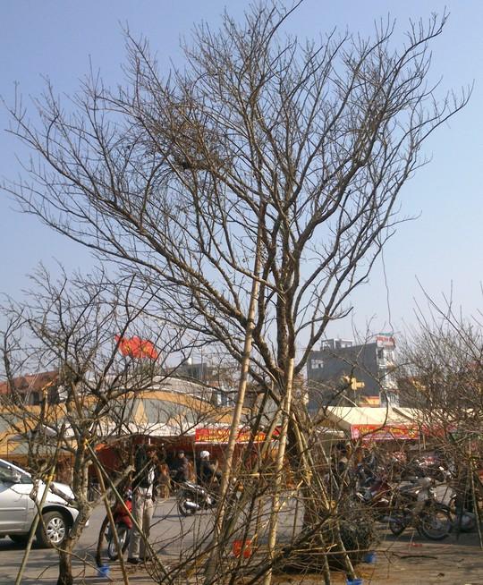 Cây đào đá được hét giá 100 triệu gây sốc ở Thanh Hóa.