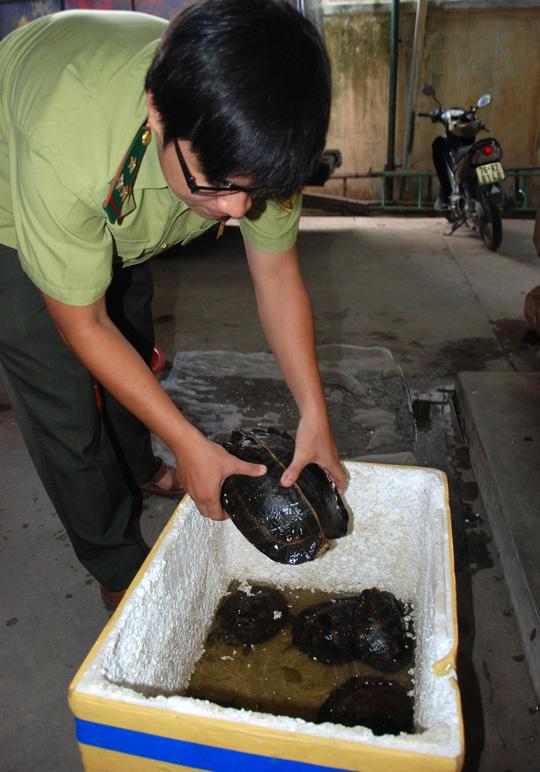 Cá thể rùa núi vàng được Chi cục kiểm lâm Quảng Ngãi tiếp nhận