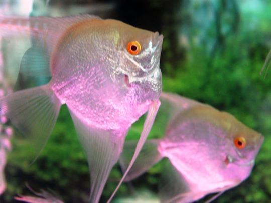 Cá có phát sáng thu hút rất nhiều khách đến tham quan.