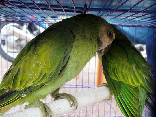 Những loài chim có khả năng nói tiếng người có giá trị hàng chục triệu đồng.