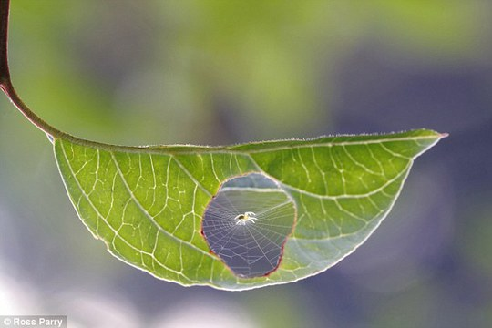 The tiny spider pictured as it goes about setting up home inside a leaf in Burgundy, France