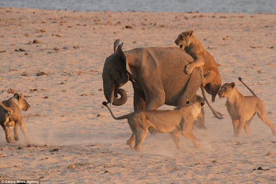 Im slipping! A lioness clings to the back of the elephant and tries to scale his backside as others circle around it