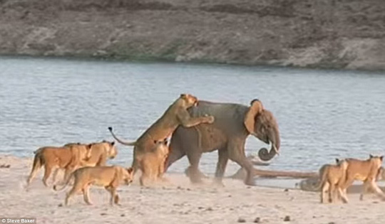 Home stretch: A stubborn lionesses refuses to let go as the elephant reaches the waters edge, and the cats are faced with a tough decision
