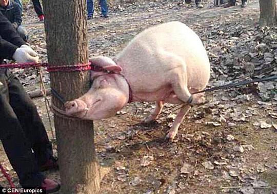 Con lợn tấn công Keke bị cột và gốc cây, sau đó bị mổ bụng. Ảnh: CEN