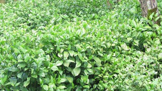 Một vườn hoa sói hiếm hoi ở Bảo Lộc - loài hoa dùng để ướp trà rất thơm