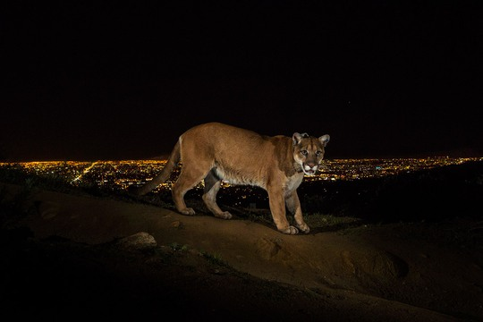 1st Prize Nature Stories: Steve Winter. 2 March 2013, Los Angeles, USA. A cougar walking a trail in Los Angeles Griffith Park is captured by a camera trap. To reach the park, which has been the cougars home for the last two years it had to cross two of the busiest highways in the US.