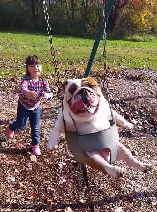 Weeeee: Sophie Citron, 5, pushes her pet bulldog Ozzy on a swing in Kingston, New York
