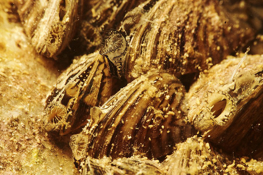 Zebra mussels take advantage of the changing landscape as they flourish when the snow melts and river levels rise