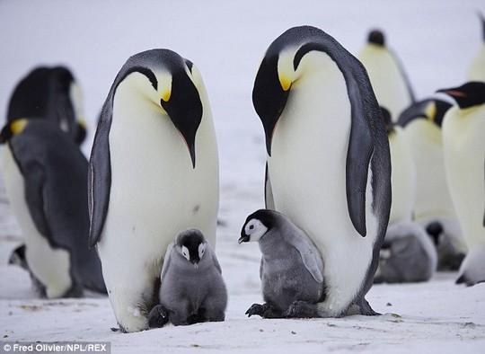 Kết quả hình ảnh cho chim cánh cụt hoàng đế