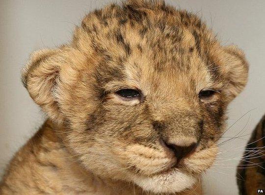 Sư tử con cần mẹ chăm sóc đến 2 tuổi rưỡi mới có thể tự lập. Ảnh: PA
