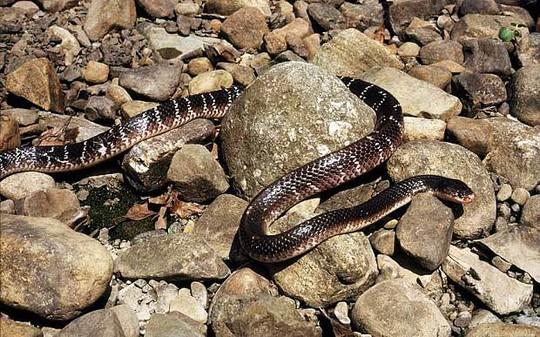 Một con rắn cạp nong. Ảnh: Alamy