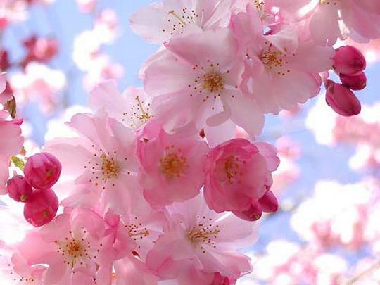 Hoa anh đào bình thường nở bông có 30 cánh, còn cây anh đào không gian nở hoa chỉ có 5 cánh. Ảnh: Cbgrant