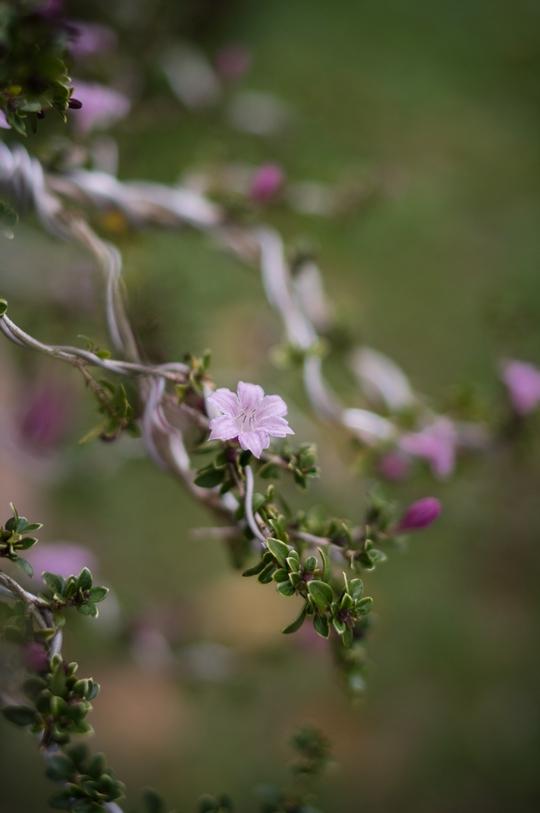 Đây cũng là loại cây kiểng bình thường, tên Hồng loan mai. Cây này phổ biến ở tỉnh Lâm Đồng.