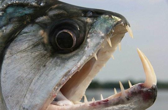 Cá hổ Piranha. Ảnh: Dailymail