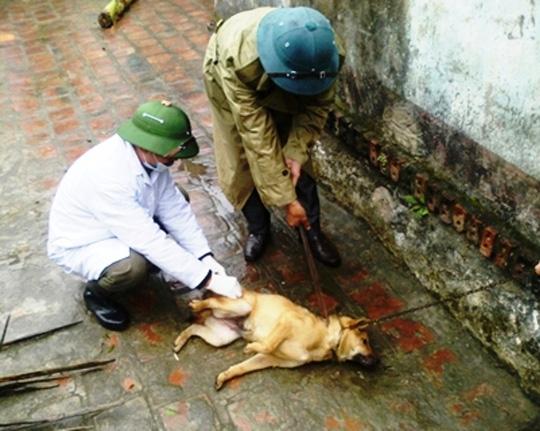 Cán bộ thú y Thanh Hóa đang tiêm phòng dại cho đàn chó