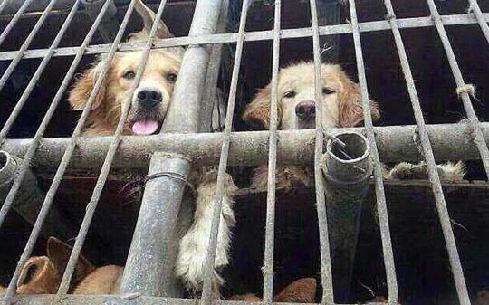 Chó nhốt trong lồng tại một nhà hàng thịt chó ở Bắc Kinh. Ảnh: Rex